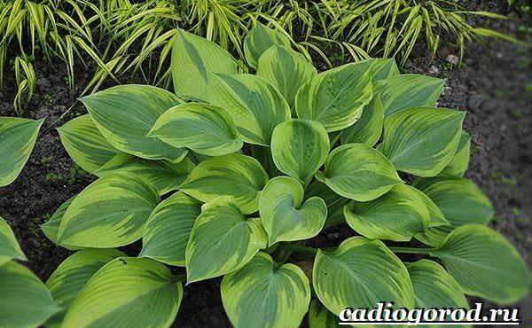 Хоста-цветок-Выращивание-хосты-Уход-за-хостой-5