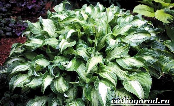 Хоста-цветок-Выращивание-хосты-Уход-за-хостой-6
