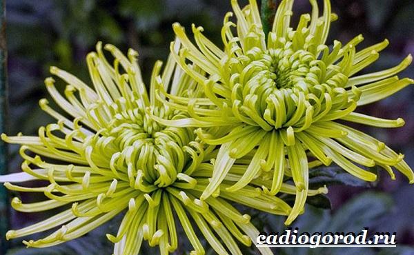 Хризантемы-цветы-Описание-особенности-виды-и-уход-за-хризантемами-7