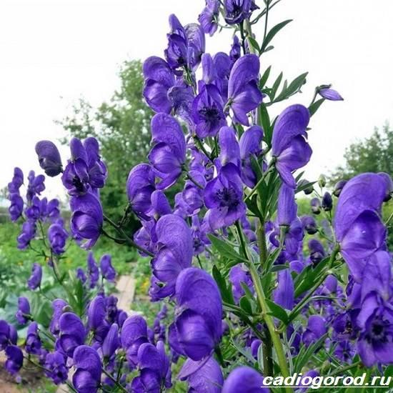 Аконит-растение-Описание-особенности-виды-и-уход-за-аканитом-4