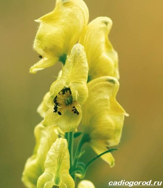 Аконит-растение-Описание-особенности-виды-и-уход-за-аканитом-8