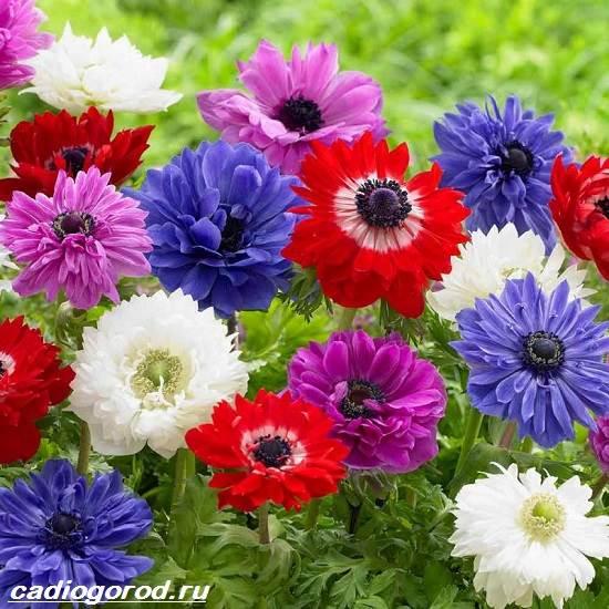 Анемоны-цветы-Описание-особенности-виды-и-уход-за-анемонами-6