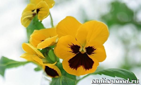 Анютины-глазки-цветы-Описание-особенности-виды-и-уход-за-анютиными-глазками-14