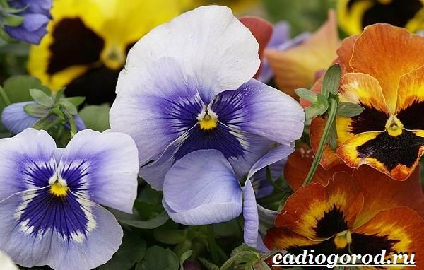 Анютины-глазки-цветы-Описание-особенности-виды-и-уход-за-анютиными-глазками-17