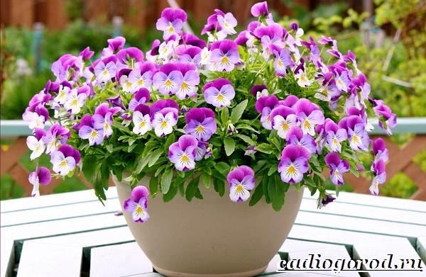 Анютины-глазки-цветы-Описание-особенности-виды-и-уход-за-анютиными-глазками-2