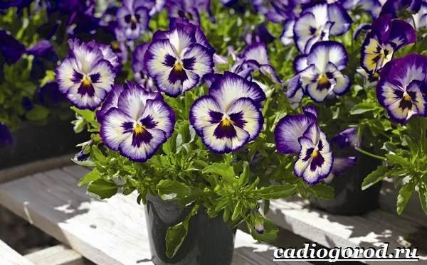 Анютины-глазки-цветы-Описание-особенности-виды-и-уход-за-анютиными-глазками-5