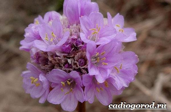Армерия-цветок-Описание-особенности-виды-и-уход-за-армерией-17