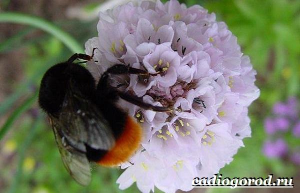 Армерия-цветок-Описание-особенности-виды-и-уход-за-армерией-21