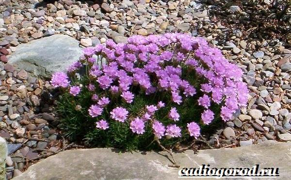 Армерия-цветок-Описание-особенности-виды-и-уход-за-армерией-3