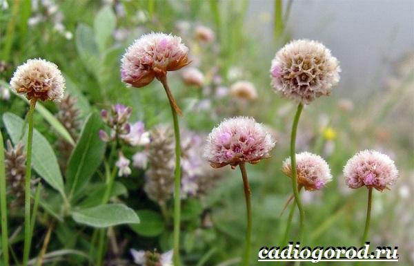 Армерия-цветок-Описание-особенности-виды-и-уход-за-армерией-7