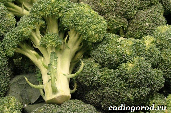 Брокколи-капуста-Выращивание-брокколи-Уход-за-брокколи-14
