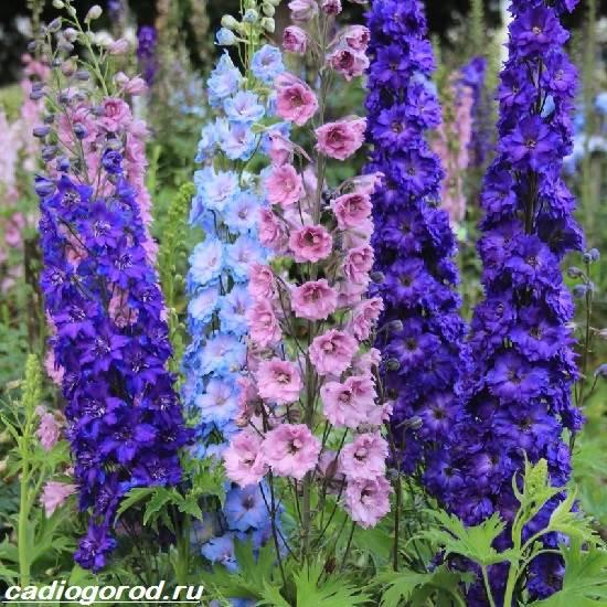 Дельфиниум-цветы-Описание-особенности-виды-и-уход-за-дельфиниумом-3