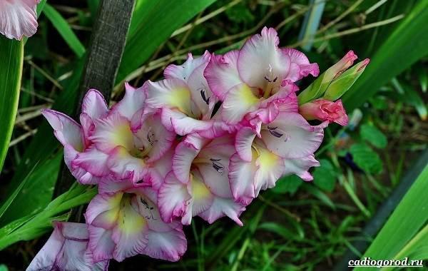 Гладиолус цветы описание и фото