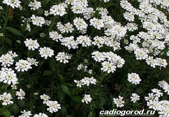 Иберис-цветок-Описание-особенности-виды-и-уход-за-иберисом-4
