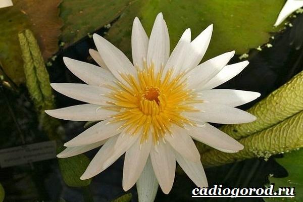 Кувшинка-белая-цветок-Описание-особенности-и-свойства-белой-кувшинки-17