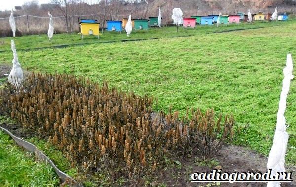 Лофант-трава-Описание-свойства-виды-и-уход-за-лофантом-4