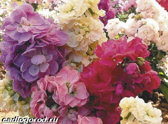 Маттиола-цветок-Описание-особенности-виды-и-уход-за-маттиолой-13