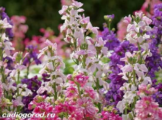 Маттиола-цветок-Описание-особенности-виды-и-уход-за-маттиолой-14