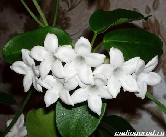 Стефанотис-цветок-Описание-особенности-виды-и-уход-за-стефанотисом-4