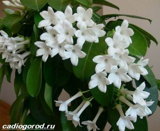 Стефанотис-цветок-Описание-особенности-виды-и-уход-за-стефанотисом-7