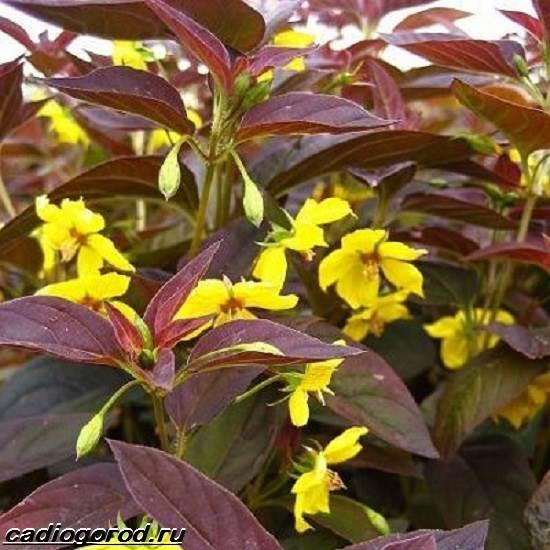 Вербейник-растение-Описание-особенности-виды-и-уход-за-вербейником-10