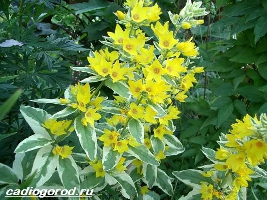 Вербейник-растение-Описание-особенности-виды-и-уход-за-вербейником-4