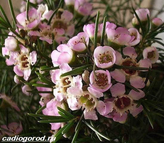 Хамелациум-цветок-Описание-особенности-виды-и-уход-за-хамелациумом-10