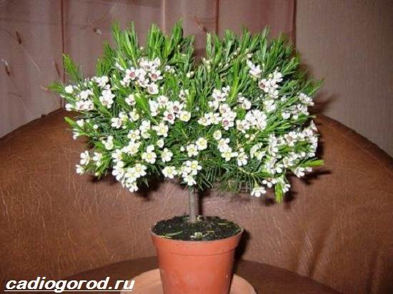 Хамелациум-цветок-Описание-особенности-виды-и-уход-за-хамелациумом-6