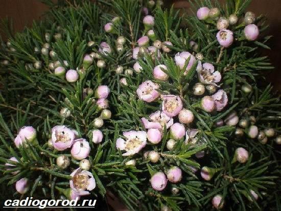 Хамелациум-цветок-Описание-особенности-виды-и-уход-за-хамелациумом-7