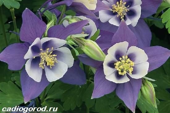 Аквилегия-цветок-Описание-особенности-виды-и-уход-за-аквилегией-5