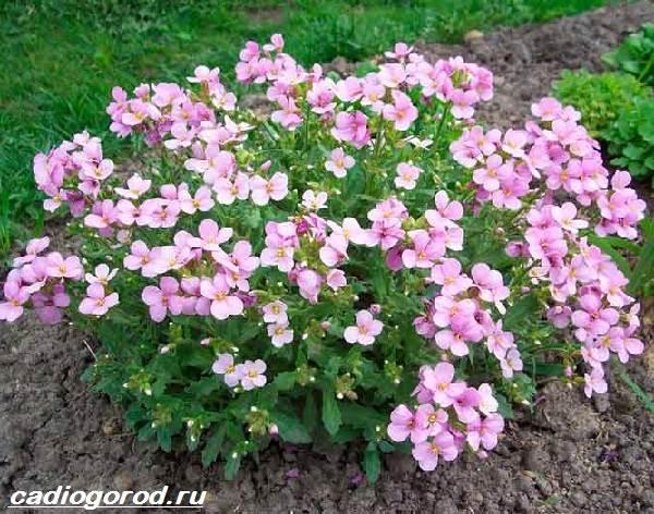 Арабис-цветок-Описание-особенности-виды-и-уход-за-арабисом-1