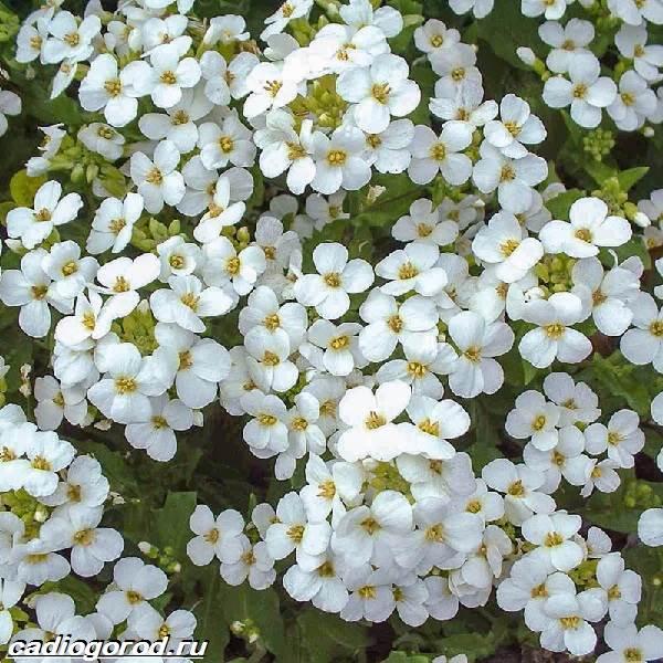 Арабис-цветок-Описание-особенности-виды-и-уход-за-арабисом-2