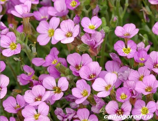 Арабис-цветок-Описание-особенности-виды-и-уход-за-арабисом-4