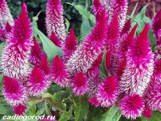 Целозия-цветы-Описание-особенности-виды-и-уход-за-целозией-9