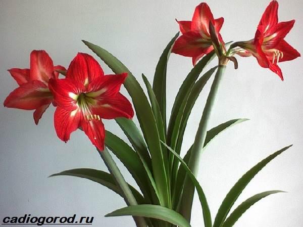 Эухарис-цветок-Описание-особенности-виды-и-уход-за-эухарисом-10