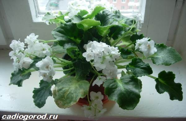 Эухарис-цветок-Описание-особенности-виды-и-уход-за-эухарисом-11