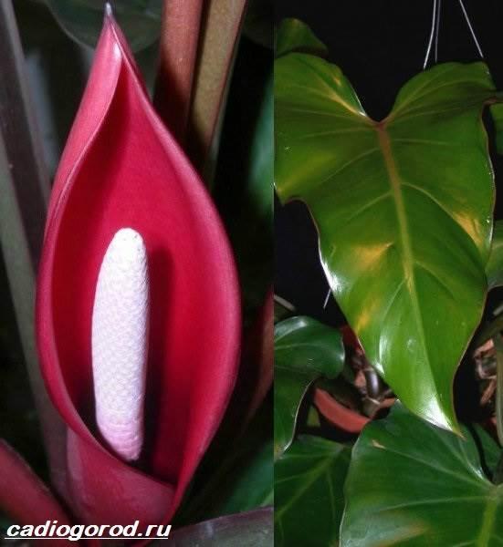 Филодендрон-цветок-Описание-особенности-виды-и-уход-за-филодендроном-10