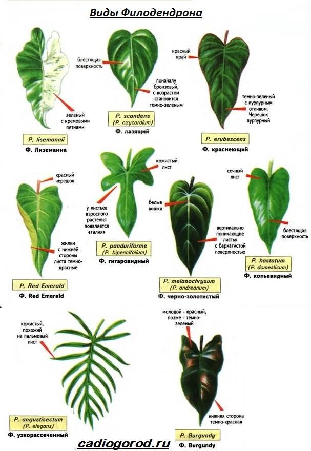 Филодендрон-цветок-Описание-особенности-виды-и-уход-за-филодендроном-13