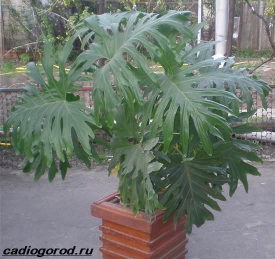 Филодендрон-цветок-Описание-особенности-виды-и-уход-за-филодендроном-4
