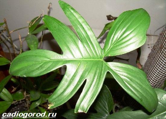 Филодендрон-цветок-Описание-особенности-виды-и-уход-за-филодендроном-5
