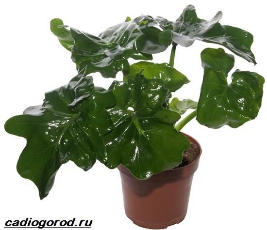Филодендрон-цветок-Описание-особенности-виды-и-уход-за-филодендроном-6