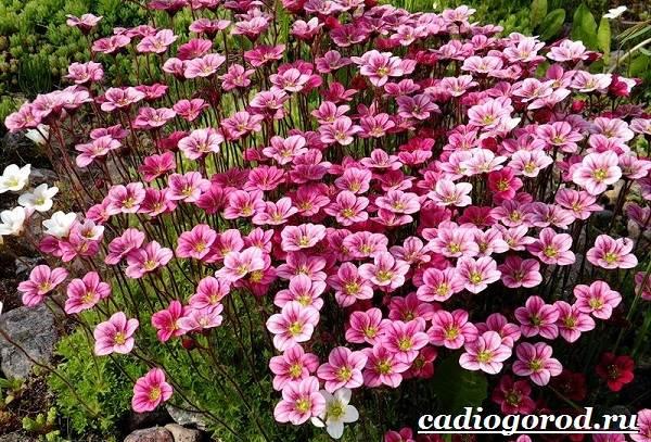 Камнеломка-цветок-Описание-особенности-виды-и-уход-за-камнеломкой-11