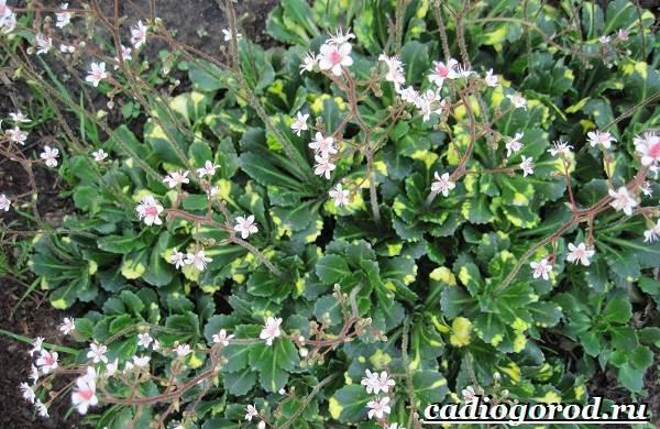 Камнеломка-цветок-Описание-особенности-виды-и-уход-за-камнеломкой-17
