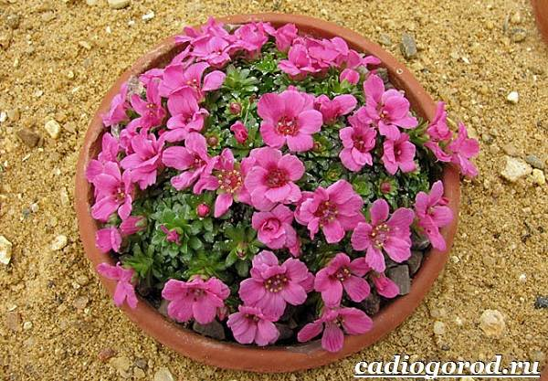Камнеломка-цветок-Описание-особенности-виды-и-уход-за-камнеломкой-20