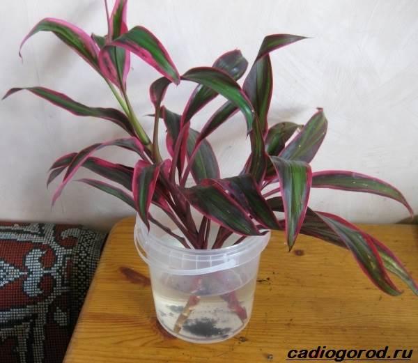 Кордилина-цветок-Описание-особенности-виды-и-уход-за-кордилиной-11