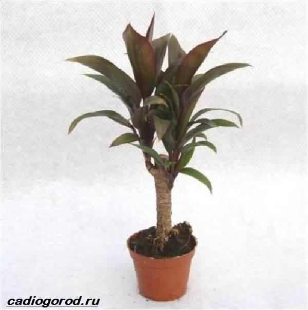 Кордилина-цветок-Описание-особенности-виды-и-уход-за-кордилиной-8