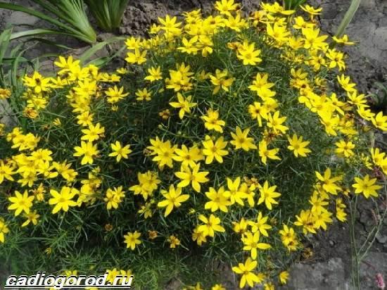 Кореопсис-цветок-Описание-особенности-виды-и-уход-за-кореопсисом-3
