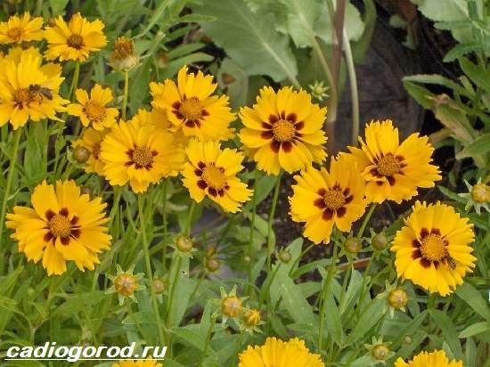 Кореопсис-цветок-Описание-особенности-виды-и-уход-за-кореопсисом-8