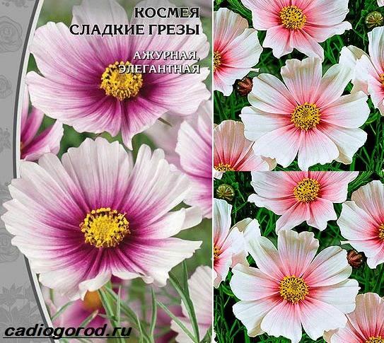 Космея цветы описание и 81