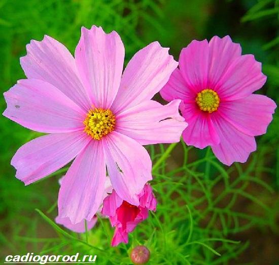 Космея цветы описание и 27